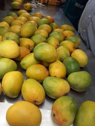 mangoes are ready for quality inspection